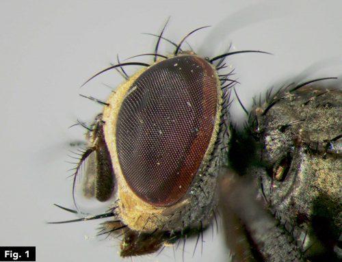Taxonomía spinettiana