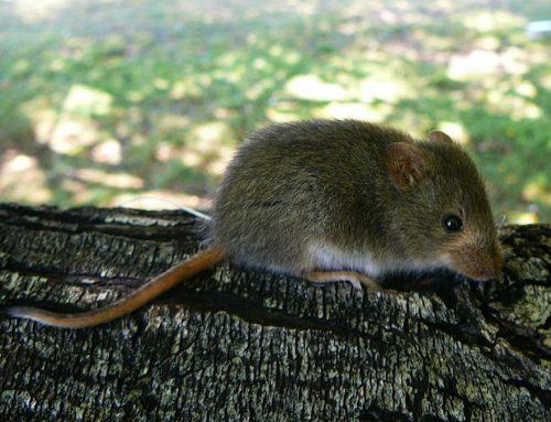 En peligro de extinción, los ratones también…