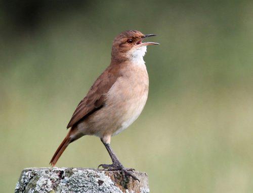 Los horneros poseen el órgano vocal con más fuentes sonoras de todo el reino animal