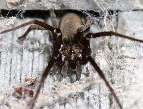 Las arañas del género Kukulcania