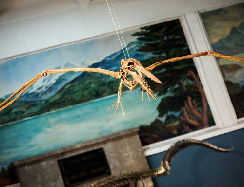 Presentaron en el MACN el esqueleto de ave marina prehistórica chilena