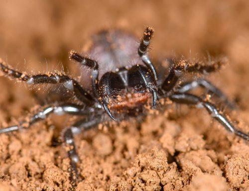 Establecen el parentesco de las arañas más venenosas del mundo.