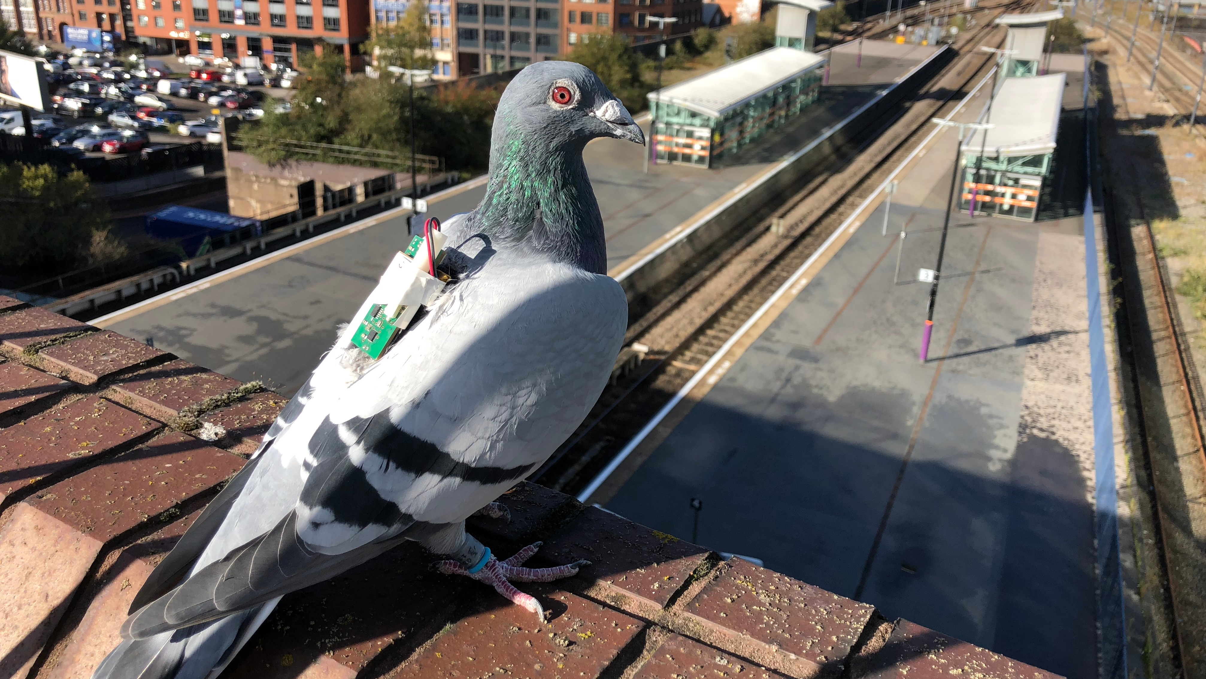 Monitoreo climático a través de sensores montados en palomas domésticas