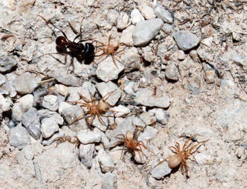 Una nueva familia de arañas en hormigueros del desierto de Chihuahua
