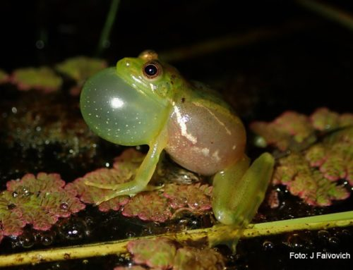 Huesos y otros tejidos verdes en ranas